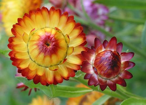 Цветок бессмертник картинки
