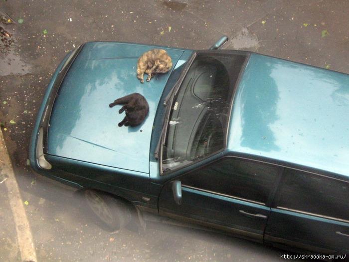 коты на капоте машины (700x525, 253Kb)
