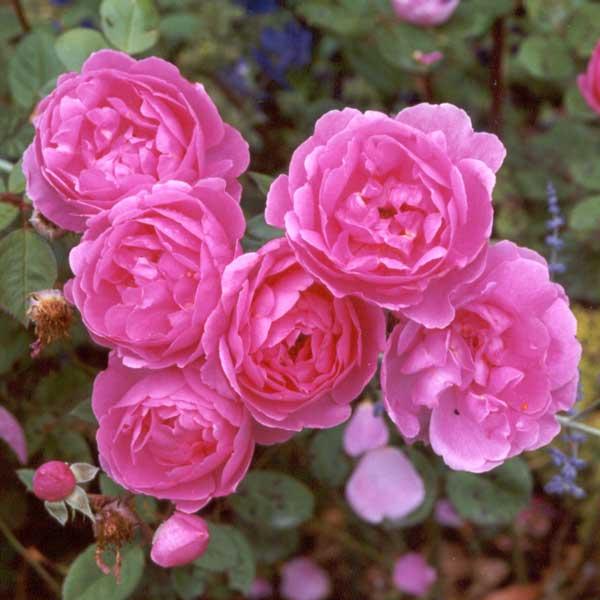 lavender-lassie-pink-rose (600x600, 38Kb)