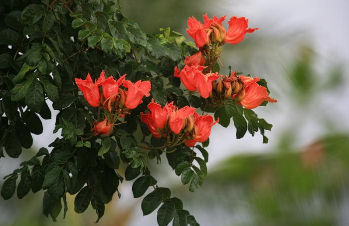 Тюльпановое дерево в домашних условиях