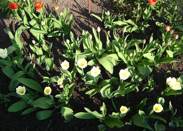 тюльпаны (600x429, 365Kb)