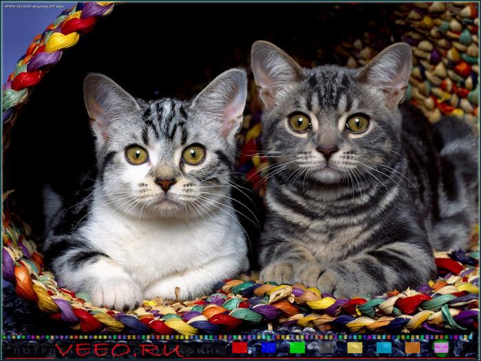 veeo-cats-bzur (700x525, 166Kb)