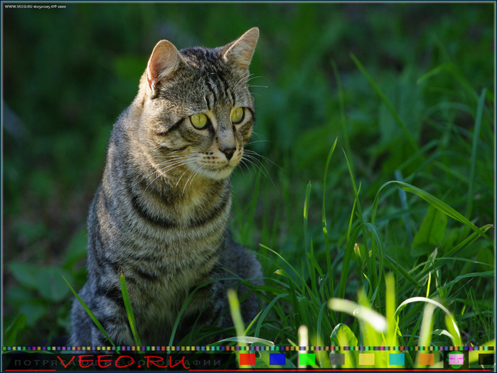 veeo-cats-adsr (700x525, 137Kb)