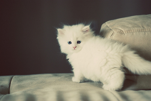 Фото Пушистый белый котенок.