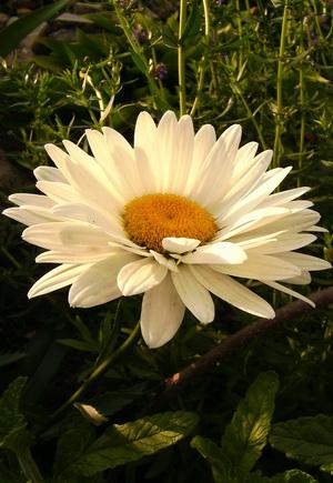 Домашнее растение которое пахнет