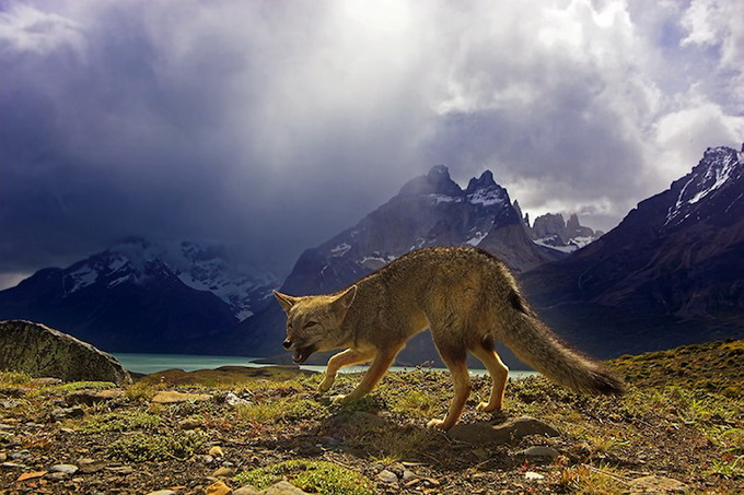 wildlife-photos-by-ben-hall-12 (680x453, 131Kb)
