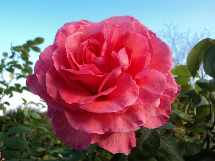 Роза Вьетнама (700x525, 339Kb)