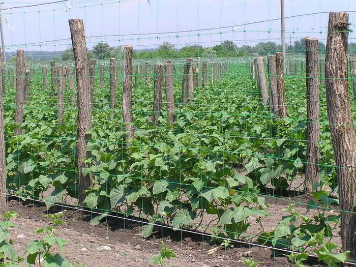 Подготовка семян: замочить семена огурцов и держать в тепле до появления семядольных листьев, затем когда они...