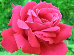 История розы с лепестками цвета утренней зари/4413077_pinkrose2 (250x188, 56Kb)