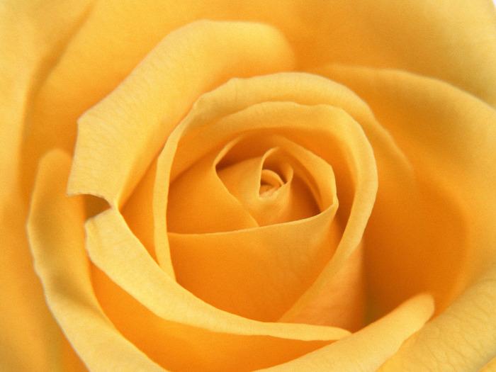 """Оригинал схемы вышивки  """"желтая роза """" ."""