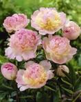 Потрясающие оттенки.  Внешние лепестки светло - розовые, в короне кремово - жёлтый, центр ярко - розовый.