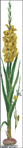 Превью TG 3072 Yellow Gladioli (108x700, 98Kb)