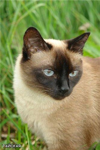 Тайские кошки – это классические