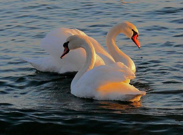 3303834_Swans8 (600x441, 40Kb)