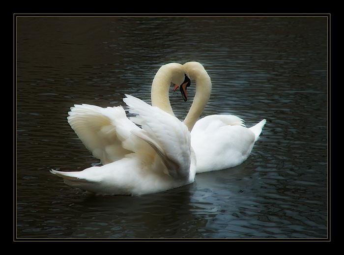 3303834_Swans7 (700x519, 111Kb)