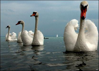 50169622__44052747_swans (416x300, 33Kb)