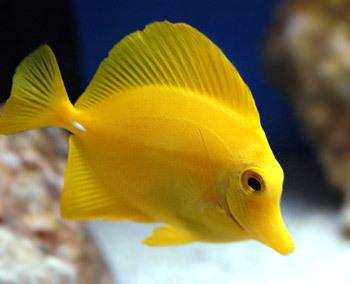 Рыба-стрела (обыкновенный сарган) - Мировой океан