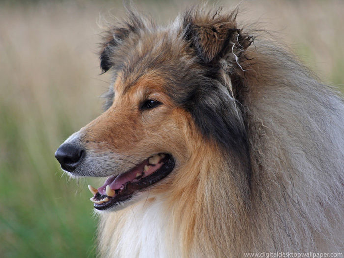 Rough-Collie-Wallpaper-dogs-7466901-1024-768 (700x525, 74Kb)