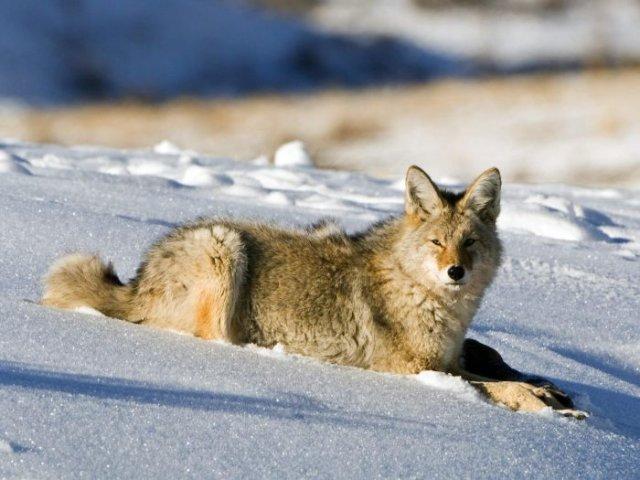 Тест: Какое твоё животное? волк.