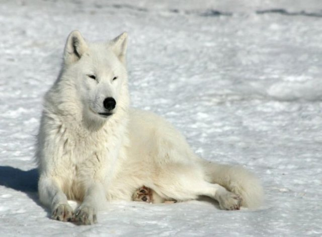...фотографии волков, чтобы вы лучше их себе представляли.