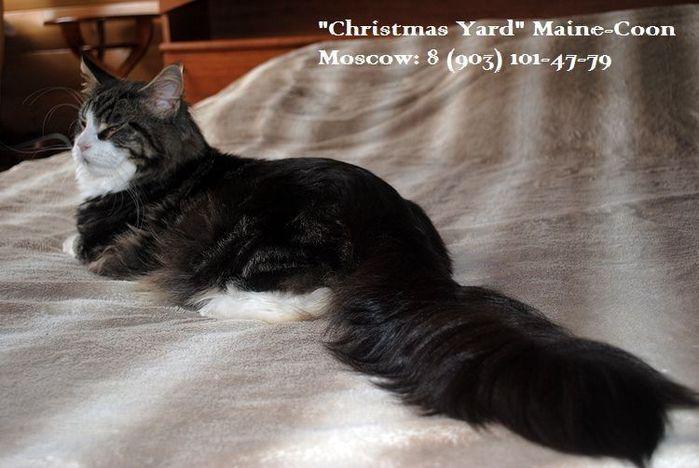 3818755_Kotyata_main_kun_pitomnik_main_kun_Christmas_Yard_site_www_royalcats_ru_009 (700x468, 53Kb)