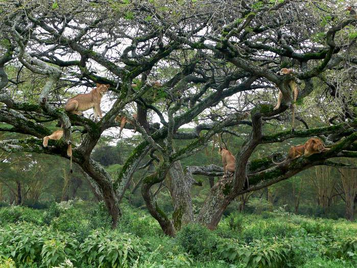 lions-tree_37129_990x742 (700x524, 108Kb)