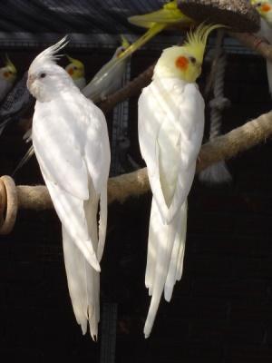 Описание: Фотографии Волнистые попугаи домашнего разведения. приму в дар...