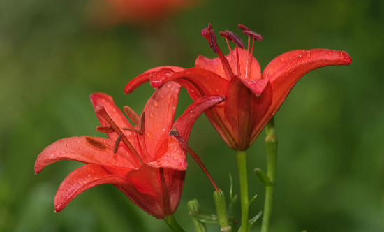 Proshots - Pair of Hybrid Daylilies, Kentucky - Professional Photos (550x332, 330Kb)
