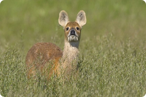 4080226_chinese_water_deer_001 (500x334, 52Kb)