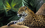 Превью Animals_Beasts_Jaguar_on_a_branch_030750_ (700x437, 446Kb)