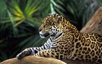 ������ Animals_Beasts_Jaguar_on_a_branch_030750_ (700x437, 446Kb)