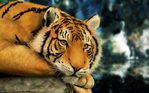 Превью Animals_Beasts_Looking_tiger_030878_ (700x437, 252Kb)