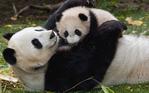 ������ Animals_Beasts_Panda_and_the_kid_027632_ (700x437, 361Kb)