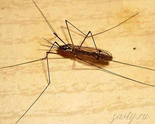 Показываю очередные фотки насекомых: большие комары и обычная муха...