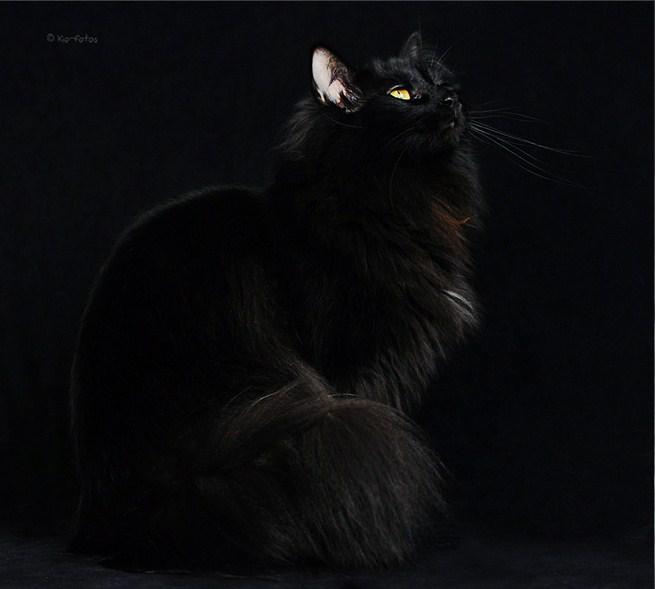 Фото пушистых черных кошек