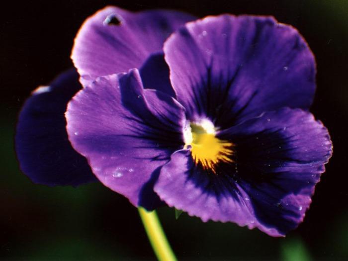 71565184_1299268620_kam_violet (700x525, 62Kb)