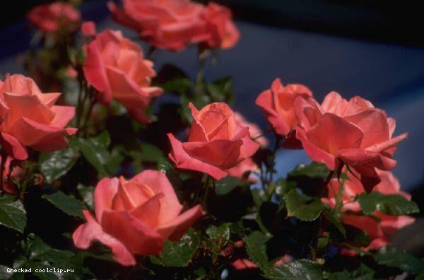3241851_Roses20211 (600x396, 31Kb)