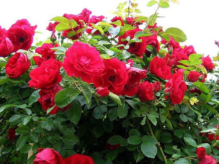 3241851_1300304638_rose8 (700x525, 108Kb)