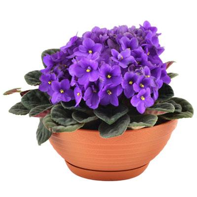 Violet (400x400, 30Kb)