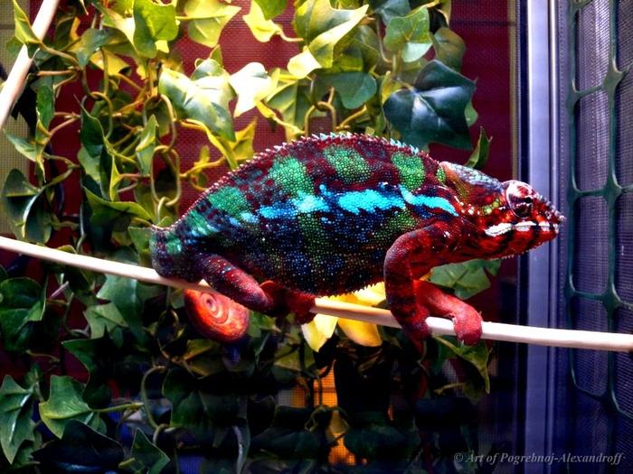 Panther Chameleon (Furcifer pardalis) 700x525, 326Kb photo by Pogrebnoj-Alexandroff