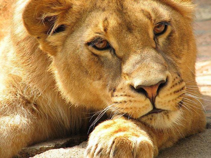 фотографии львов и львиц - картинка №4/3320012_foto_lvov_i_lvic_kartinki_lvi4 (700x525, 95Kb)