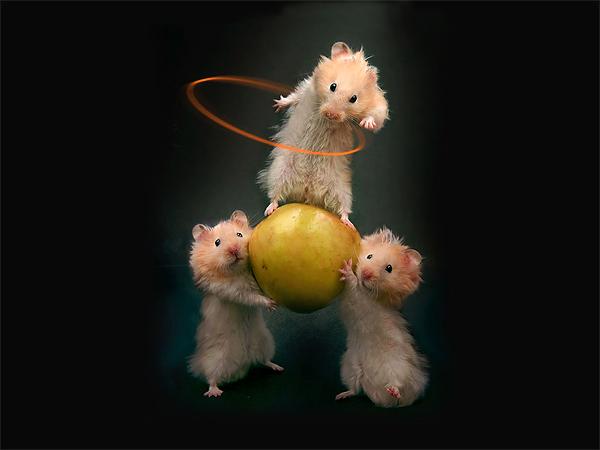 4080226_hamster110 (600x450, 83Kb)
