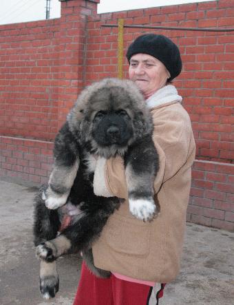 Кавказская овчарка, фото собаки фотография породы собак кавказец.