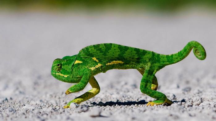 4126500_chameleonwallpaper1366x768 (700x393, 79Kb)
