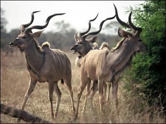 Антилопа Kudu (342x257, 34Kb)