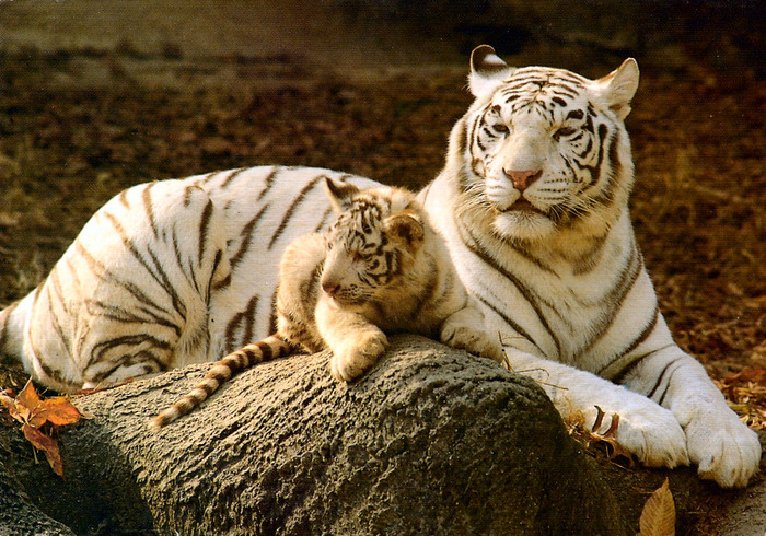 Zoo-White-Tiger-Cub (700x490, 194Kb)