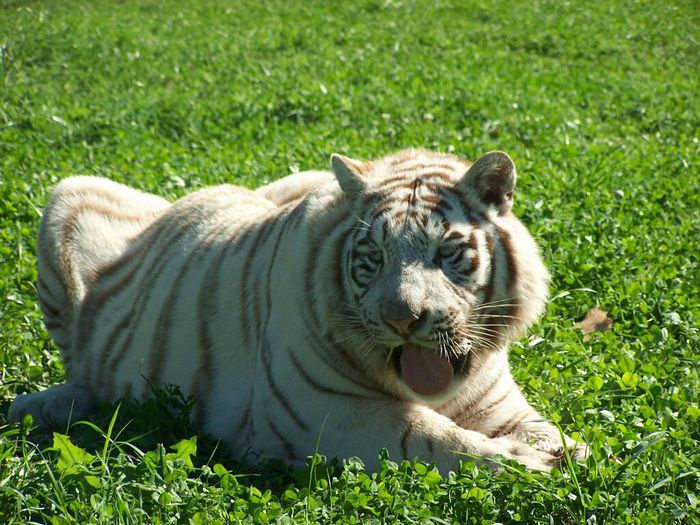 White-Tiger-3 (700x525, 96Kb)