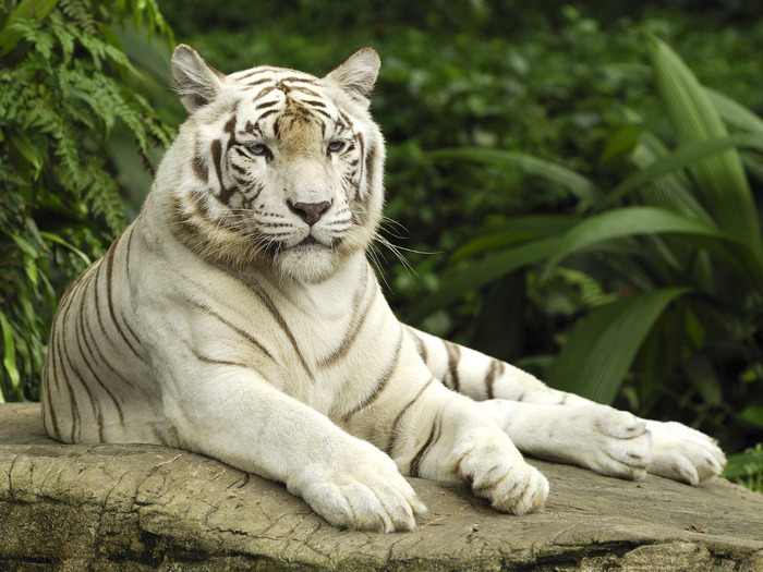 white_tiger_singapore-normal (700x525, 139Kb)