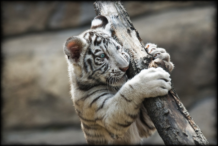 White_tiger_in_the_moscow_zoo (700x468, 92Kb)