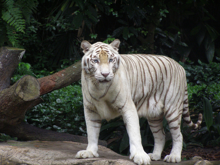 White_tiger_6_by_sbmdestock (700x525, 149Kb)